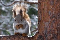 An extreme close-up of a squirrel on pine. The Eurasian red squirrel (Sciurus vulgaris). Season: Winter 2020