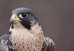 An extreme close-up of the face of a Peregrine Falcon (Falco peregrinus).  These birds are the fastest animals in the world.