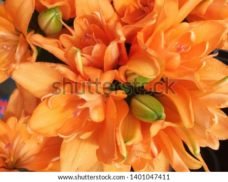 An extreme close up shows all the beautiful natural detail of an orange colored Asiatic lily. The petals are upturned on this flower.