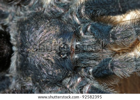 An extreme closeup of a Pinktoe Tarantula (Avicularia sp.) in the Peruvian Amazon