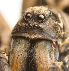 an extreme closeup of a wolf spider