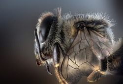 an extreme macro for a bee