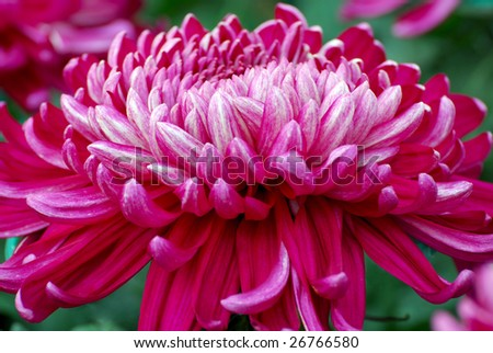 An extremely large chrysanthemum with purple colored.