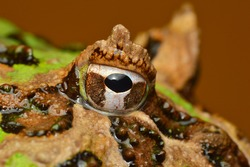 an eye of Ceratophrys (south american horned frog or pacman frog)