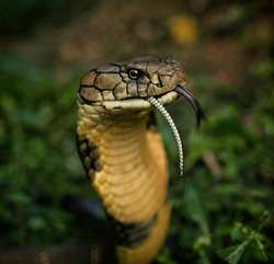 An 11-foot king cobra, the longest venomous snake in the world, finishes his meal: a large Indian rat snake. And, yes, he ate it like spa- ghetti! The scientific name for the king cobra is Ophiophagus