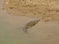 An Gharial alligator resting on the Rapti river bank in the Chitwan national park in Nepal