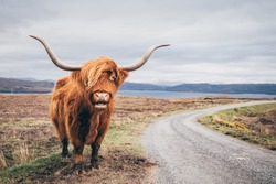 An highland cow with a very long tuft of reddish hair watch straight in the camera near a gravel road