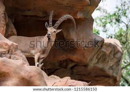 An ibex mountain goat steinbock  bouquetin Capra ibex while feeding on leaves on top of a mountain. Colorful wildlife photo of nature with green background #1215586150