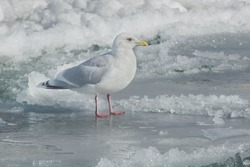 An Iceland Gull is standing on the ice. Bluffers Park, Toronto, Ontario, Canada.