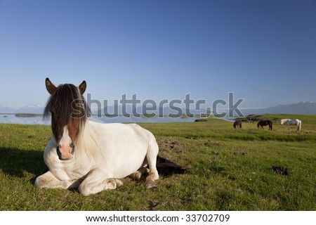 An Icelandic horse at rest in a field by a lake with other Icelandic horses in the background. Shot on location in Iceland in early morning golden light.
