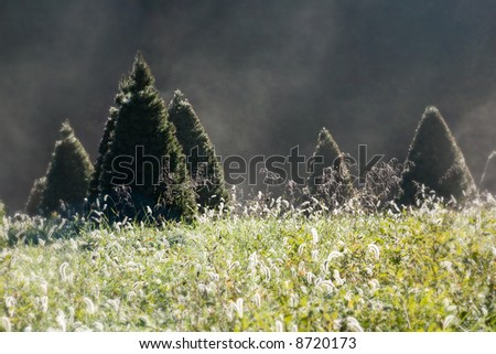 An idyllic scene at a christmas tree farm of trees just waiting to be cut by you on a cold misty morning