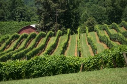 An idyllic vineyard with rows of grape-growing vines serving as leading lines.
