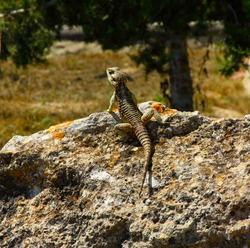 An iguana basks on a rock. Summer wildlife. Morning colorful reptile. Beauty isolated reptile.