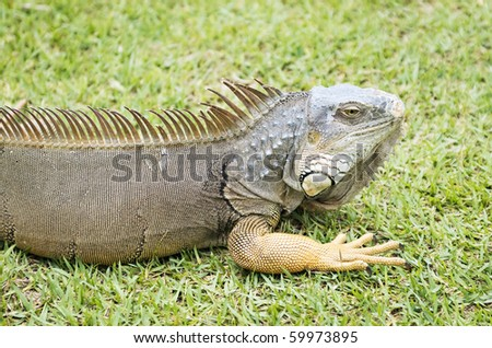 An Iguana in the wild in the Florida Keys with selective focus