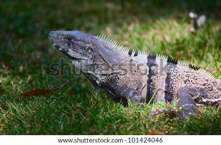 An iguana, spotlighted by the sun in a grassy field