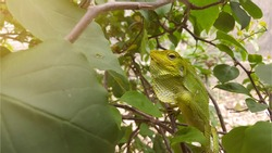 An iguana that is camouflaging on green plants. Igunana is an animal with the ability to change colors according to where it wants