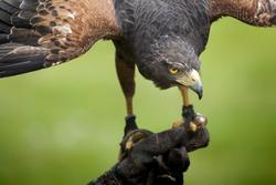 An image of a beautiful hawk bird