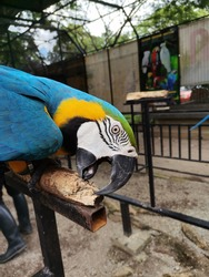 An image of a beautiful Parrot Bird biting the wood with a blurred background. Parrot birds are colourful, quite intelligent, highly sociable and long-lived creatures.