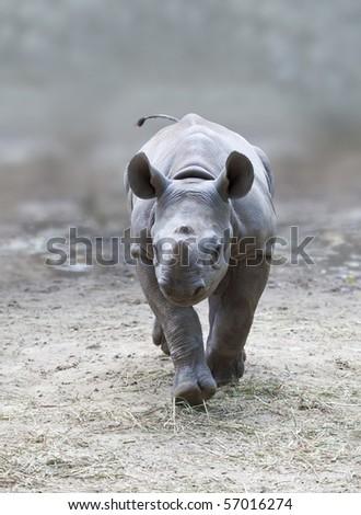 An image of a beautiful young rhino
