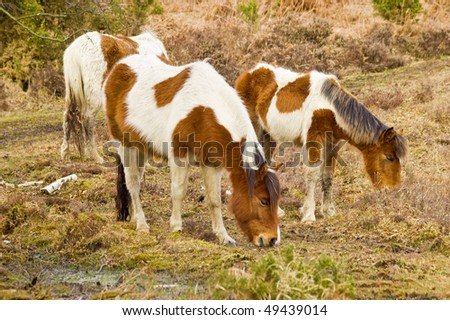 an image of a family of three wild famous new forest ponies grazing near a swamp in bracken.