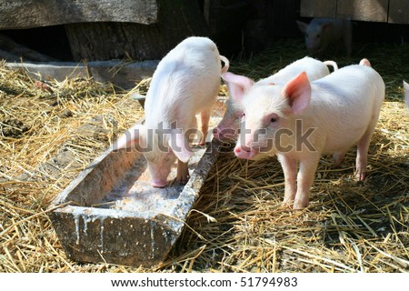 An image of a group of three little pigs