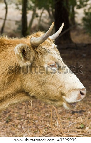 an image of a highland cow portrait.