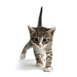 An image of a little kitten on white background