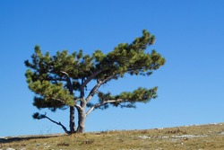 An image of a lonely, evergreen pine tree on a flat mountainside and a blue sky. Southern, coniferous, spreading tree without forest.