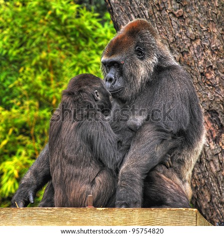An image of a mother and baby gorilla looking tenderly into eack others eyes