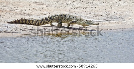 An image of a salt water crocodile in Australia - stock photo