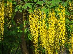 An image of a yellow laburnum plant