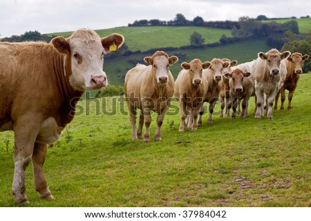 an image of a young herd of calves looking curiously towards you with a rural background