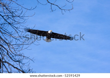 An image of an American Bald Eagle in Flight