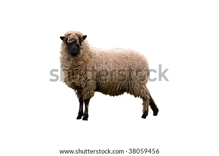 an image of an isolated Cambridge dark face breed of sheep looking towards you.