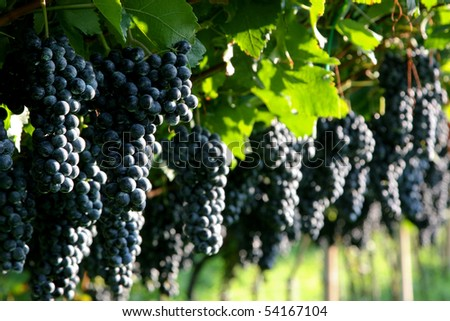 An image of bunches of fresh red grapes