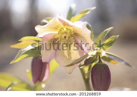 An Image of Christmas Rose