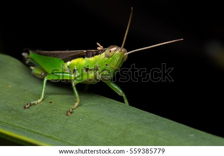 An Image of Grasshoppers Macro. #559385779