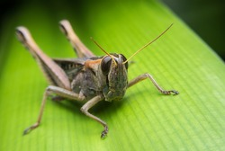 An Image of Grasshoppers . macro Grasshopper