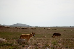 An image of herding dogs on an arid rural destination in Jordan. the grazing sheep herd, dogs are guarding are seen in the background.  They follow, guide and protect the sheep from a distance.