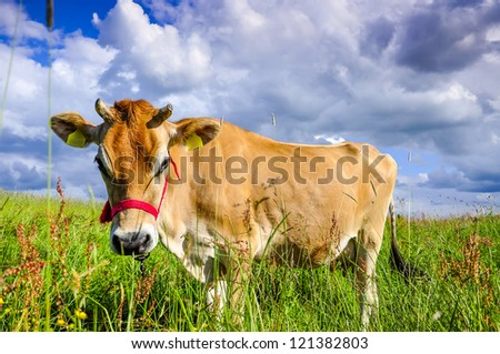 An image of pastering jersey cow