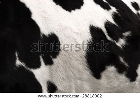 an image of real black and white cow hide. - stock photo