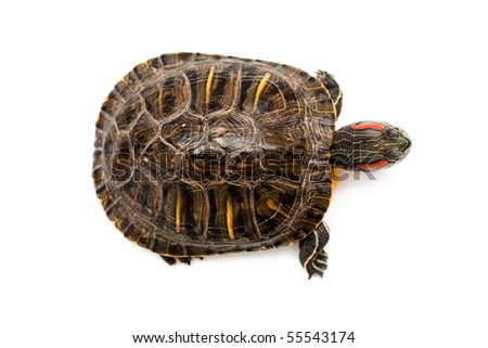 An image of Red Eared Turtle on white background