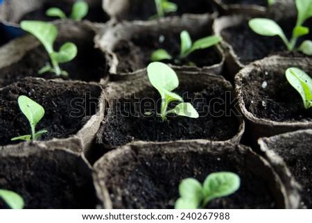 An image of seedlings in flowerpots
