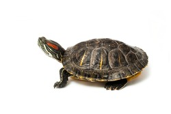 An image of turtle on white background