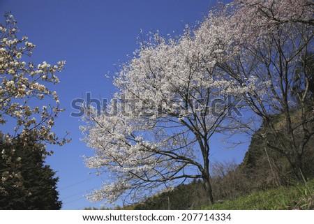 An image of Wild Cherry Tree