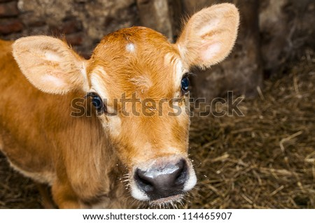 An image of young jersey cow stands in the barn