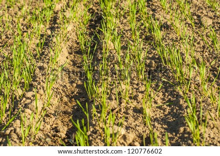 an imagee fo small wheat plants