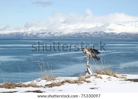 An immature bald eagle perching on a driftwood branch on a beach off the Kachemak Bay in Alaska