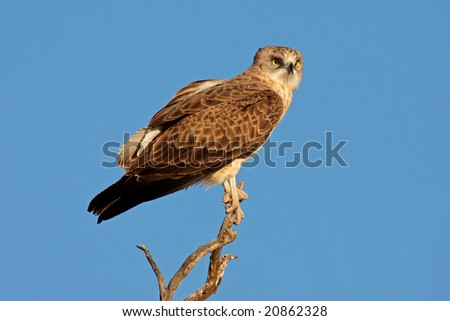 An immature black-breasted snake eagle (Circaetus gallicus) perched on a branch, Kalahari, South Africa