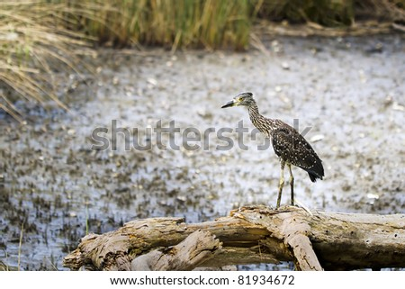 An immature black-crowned night heron perches on a log in search of prey (crabs this day) on a tidal creek mud flat in Myrtle Beach, South Carolina